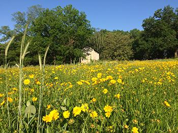 Field of yellow flowers.