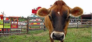 Cow in field.